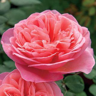 Sweet Mademoiselle™ Rose