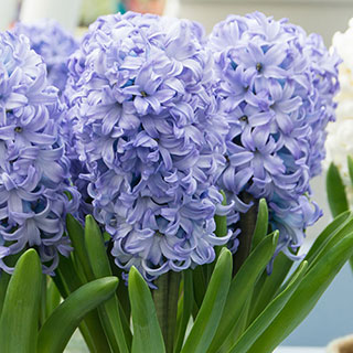 Hyacinth Chicago Image