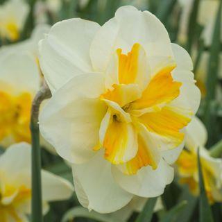 Narcissus Sorbet