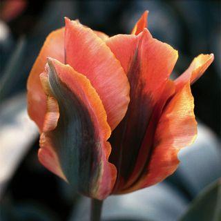 Tulip Artist Image