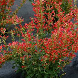 Plants: Perennials, Shrubs, Vines, Trees, Evergreens, Bulbs