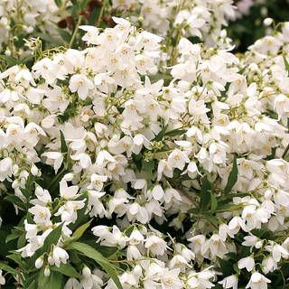 Deutzia Yuki Snowflake® Image