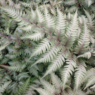 Athyrium niponicum pictum 'Metallicum' 'Painted Lady Fern'