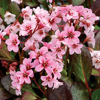 Bergenia 'Pink Dragonfly' Image