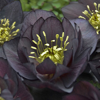 Helleborus Wedding Party® 'Dark and Handsome'