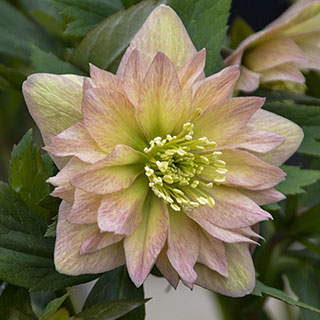 Helleborus Wedding Party® 'Mother of the Bride'