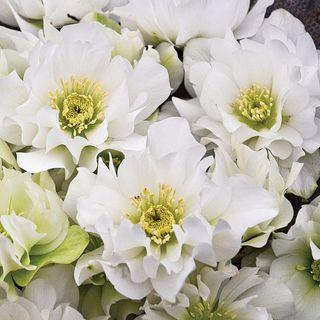 Helleborus Wedding Party® 'Wedding Bells' Image