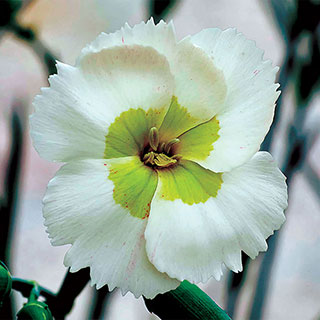 Dianthus American Pie® 'Key Lime Pie' Image