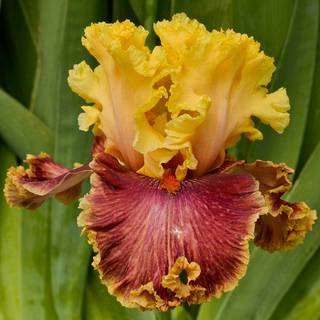Iris germanica 'Decadence'