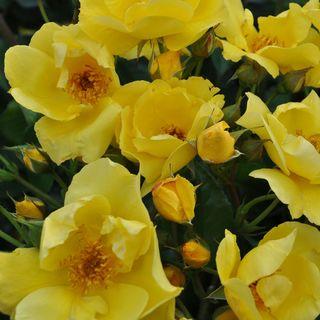 Lemon Fizz Kolorscape® Floribunda Rose