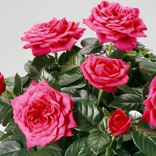Alicante® Miniature Rose
