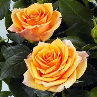 'Fahra' Miniature Rose