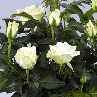 'Honora' Miniature Rose