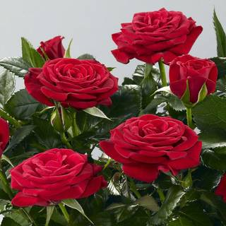 'Isabel' 2008 Miniature Rose