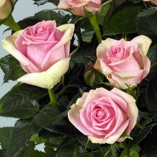 'Nova' Miniature Rose