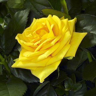 'Silvia' 2008 Miniature Rose