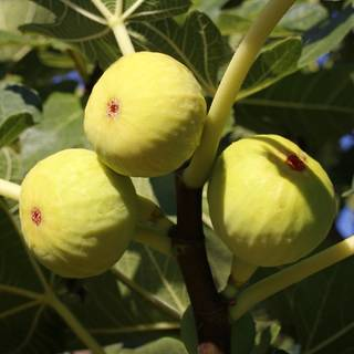 Yellow Long Neck Fig Image
