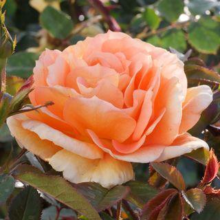 Tangerine Flames Climbing Rose