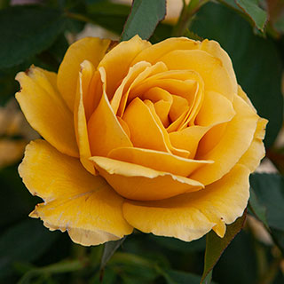 'Alex's Lemonade Stand' Grandiflora Rose