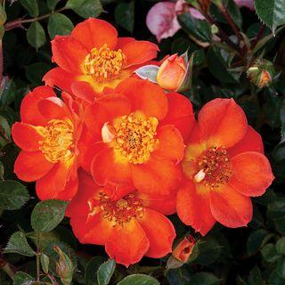 Honey Bee Lovely Groundcover Rose