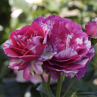 'Show Your Stripes' Grandiflora Rose