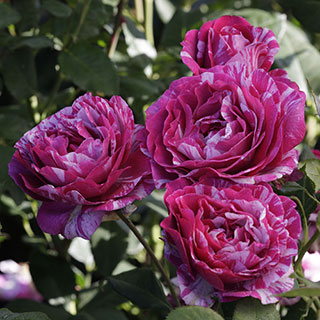 'Show Your Stripes' Grandiflora Rose Image