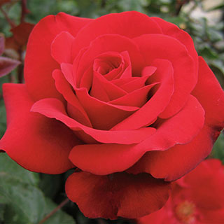 Crimson Bouquet™ Grandiflora Rose