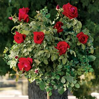 Black Cherry 24-Inch Tree Rose Image