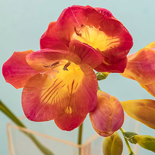 Freesia Red Beauty Image