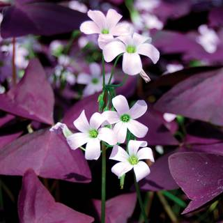 Oxalis triangularis Image