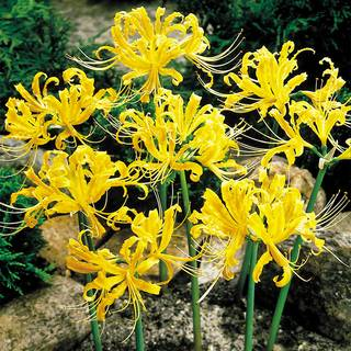 Lycoris aurea (Yellow Spider Lily) Image