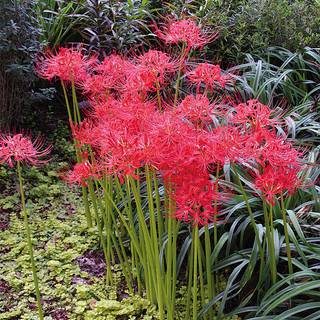 Lycoris radiata (Red Spider Lily) Image