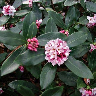 Daphne odora Greenleaf Pink Image