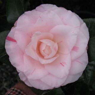 Camellia japonica Mrs. R.L. Wheeler
