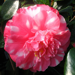 Camellia 'Bart Colbert Variegated'