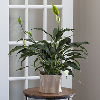 Parisian Peace Lily