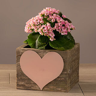 Pretty Pink Kalanchoe Gift Image
