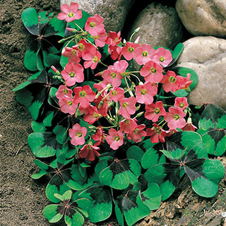 Oxalis 'Iron Cross'