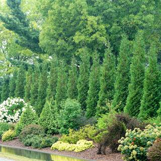 Thuja Full Speed A Hedge® 'American Pillar' Image