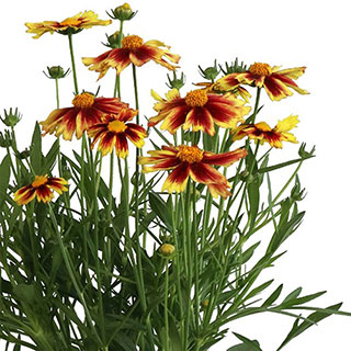 Coreopsis 'Iron Lady'