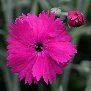 Dianthus STAR SINGLE™ Neon Star Improved