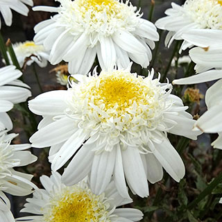 Leucanthemum REALFLOR® 'Real Comet'