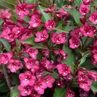 Weigela TOWERS OF FLOWERS® 'Cherry' Image