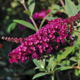 Buddleia Buzz™ Magenta Improved