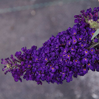 Buddleia Buzz™ Midnight