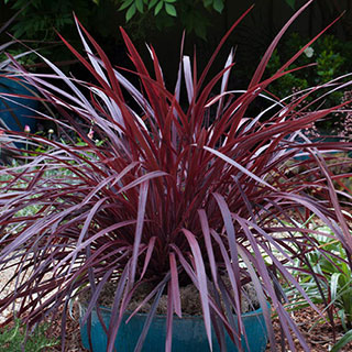 Cordyline Design-a-line™ Burgandy