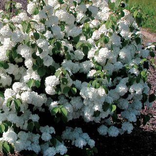 Viburnum 'Popcorn' Image