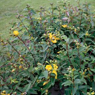 Hypericum 'Hidcote' Gold Cup