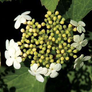 Viburnum 'Compactum' Image