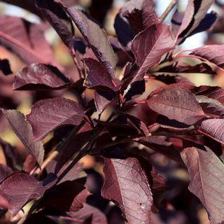 Prunus 'Canada Red'